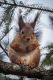 Mamma sveglia, adorabile, incinta dello scoiattolo immagine stock libera da diritti