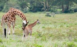 Mamma-und Schätzchen-Giraffe Stockfotografie