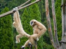 Mammaaap die de aap van de mierenbaby kijken stock foto