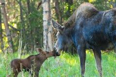 Mammaamerikaanse elanden en Babykalf royalty-vrije stock afbeeldingen