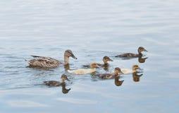 Mammaeend die met zes babyeenden zwemmen stock foto's
