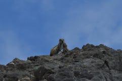 Mammaekorre av det australiska ursprunget som ger en ekorre som föder upp en jordnöt i Costa Calma Juli 3, 2013 Costa Calma Fuert royaltyfri bild