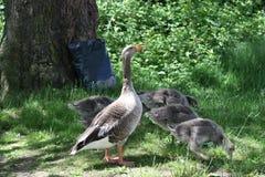 Mammagans met jonge geitjesfamilie royalty-vrije stock foto's