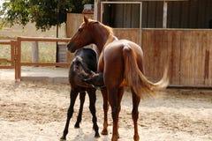 Mammahäst och att behandla som ett barn fölet royaltyfria foton