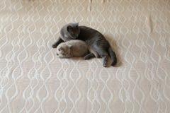 Mammakat en katje die op het bed, Brits Shorthair-blauw liggen stock fotografie