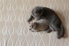 Mammakat en katje die op het bed, Brits Shorthair-blauw liggen royalty-vrije stock foto