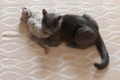 Mammakat en katje die op het bed, Brits Shorthair-blauw liggen royalty-vrije stock afbeeldingen