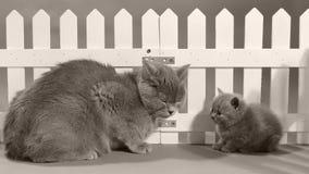 Mammakatt och kattungestående framme av ett vitt staket lager videofilmer