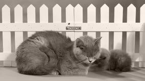 Mammakatt och kattungestående framme av ett vitt staket stock video