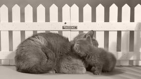 Mammakatt som spelar med hennes kattunge, vitt staket lager videofilmer