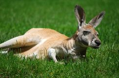 Mammal Royalty Free Stock Image