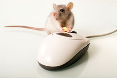 Mammal. Photo of nice mammal holding a cheese near the mouse Stock Image