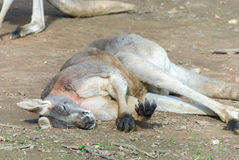 Mammal. An adult kangaroo laying on ground asleep close up Royalty Free Stock Photos