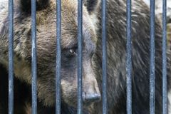 Mammal animal big brown bear from the Novosibirsk zoo. While in captivity watching and watching what is happening stock image