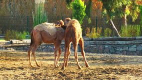 Mammal Animal Camel in Zoo. In Nature stock video footage