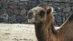 Mammal Animal Camel in Zoo. In Nature stock video