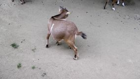 Mammal Animal Goat in Zoo. Video stock video