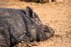 Mammal a boar animal sleeping on the ground. Image of a mammal a boar animal sleeping on the ground Stock Image