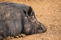 Mammal a boar animal sleeping on the ground. Image of a mammal a boar animal sleeping on the ground Royalty Free Stock Photo