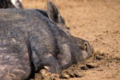 Mammal a boar animal sleeping on the ground. Image of a mammal a boar animal sleeping on the ground Stock Images