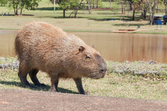 Mammal called Capybara walking across the street and grass Royalty Free Stock Images