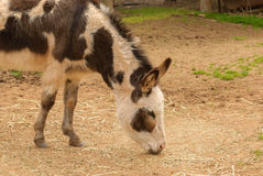 Mammal. Close up of a donkey grazing on straw in a animal zoo Stock Photo