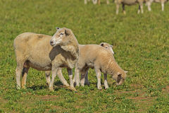 Mammal. A closeup of crossbreed ewe and lambs in a grass pasture royalty free stock images