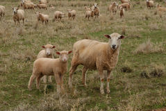 Mammal. Crossbreed ewe with 2 lambs closeup royalty free stock images