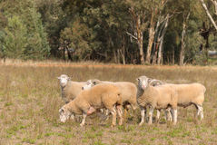 Mammal. 6 Dorset rams standing in a grass pasture with trees in the backgrounmd Stock Image