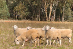 Mammal. 6 dorset rams standing in paddock with trees in the background Stock Photography