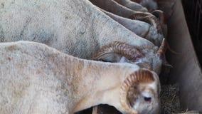 Mammal Farm Animal Sheep stock video