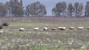 Mammal Farm Animal Sheep stock video footage