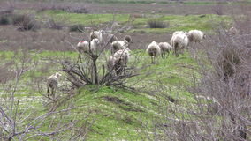 Mammal Farm Animal Sheep stock footage