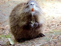 Mammal, Fauna, Beaver, Muskrat stock photos