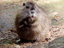 Mammal, Fauna, Muskrat, Rat royalty free stock photography