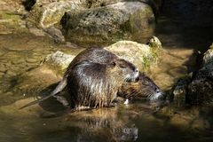 Mammal, Fauna, Otter, Water stock photography