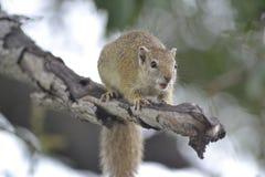 Mammal, Fauna, Rodent, Squirrel Stock Photo
