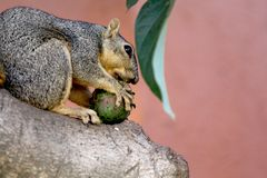 Mammal, Fauna, Squirrel, Fox Squirrel Stock Photo