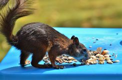 Mammal, Fauna, Squirrel, Rodent Royalty Free Stock Images