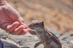 Mammal, Fauna, Squirrel, Rodent Royalty Free Stock Image