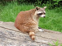 Mammal, Fauna, Terrestrial Animal, Raccoon royalty free stock photo