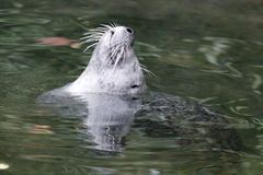 Mammal, Fauna, Water, Harbor Seal stock images