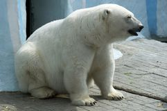 Mammal great white bear sitting resting in Novosibirsk zoo. In his paddock royalty free stock image