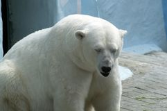 Mammal great white bear sitting resting in Novosibirsk zoo. In his paddock stock images