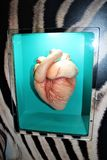 Mammal Heart. Three dimensional image of a mammal zebra heart royalty free stock photo