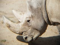 Head of white rhino in a zoo. Mammal and herbivorous, species threatened, animal with grey skin and with two horns, originating in the African savanna Stock Images