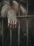 Mammal Inside Cage With Hands on the Railings Royalty Free Stock Photo