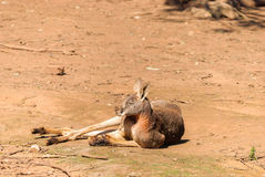 Mammal. A kangaroo resting on ground in animal sanctuary Royalty Free Stock Images