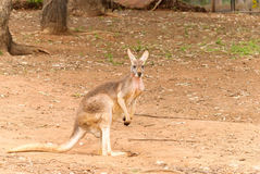 Mammal. A kangaroo,standing in a zoo yard Stock Photo
