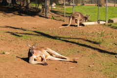 Mammal. Kangaroos in an animal enclosure at the zoo Stock Photography